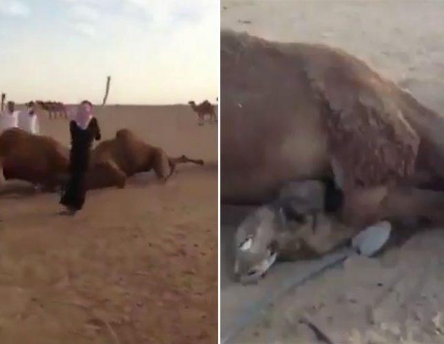 أقوى كائنات متحركة.. قتال حتى الموت بين سفن الصحراء في السعودية (فيديو)