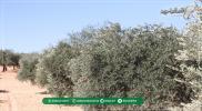 إدلب الخضراء تجني المحصول.. صعوبات وعوائق تُهدِّد مستقبل الزيتون (صور)