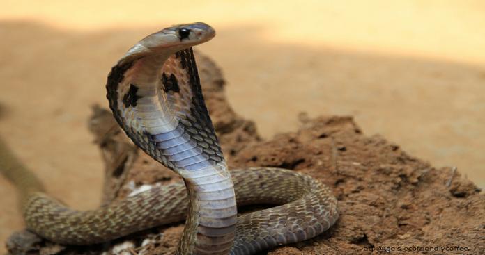 رعب في السعودية من انتشار الأفاعي والثعابين السامة.. وخبير يحذر