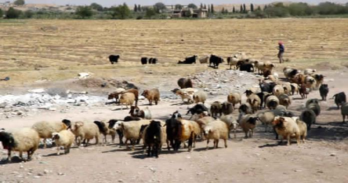 ارتفاع أسعار اللحوم في ريف حلب نتيجة تهريب الأبقار والأغنام لمناطق النظام و قسد